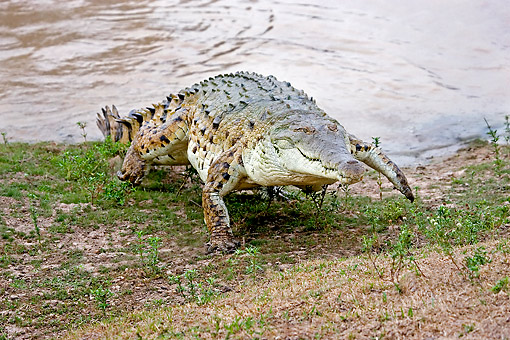 REP 11 GL0011 01 © Kimball Stock Orinoco Crocodile Emerging From River Venezuela