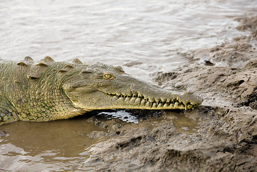 REP 11 JE0001 01 © Kimball Stock Head Shot Of American Crocodile Laying In Shallow Water By Mud
