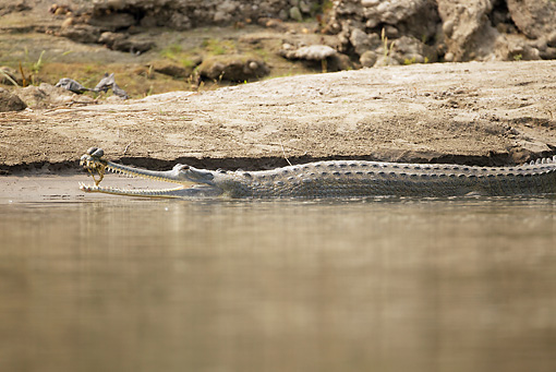 REP 11 MC0003 01 © Kimball Stock Indian Gharial Swimming Along Riverbank Chitwan National Park, Nepal