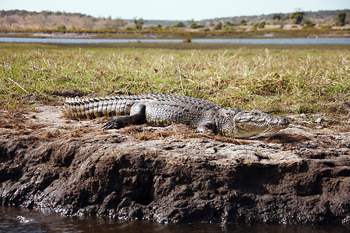 REP 11 MC0006 01 © Kimball Stock Nile Crocodile Basking On Riverbank In Chobe National Park, Botswana