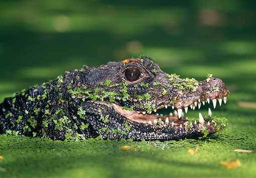 REP 11 MH0001 01 © Kimball Stock Head Shot Of Dwarf Crocodile Floating In Swamp