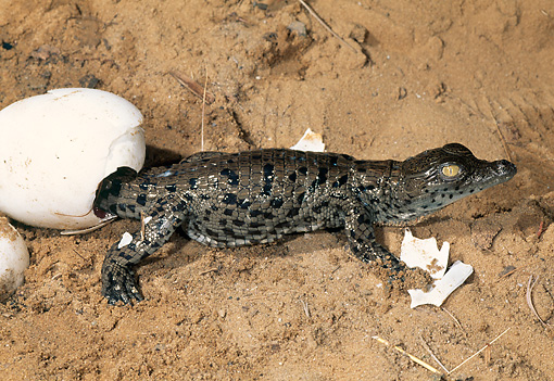 REP 11 MH0004 01 © Kimball Stock Nile Crocodile Hatchling Coming Out Of Egg