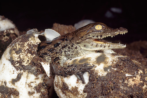 REP 11 MH0006 01 © Kimball Stock Nile Crocodile Hatchling Coming Out Of Egg