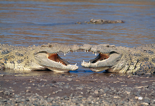 REP 11 MH0008 01 © Kimball Stock Nile Crocodiles Fighting In Shallow Water