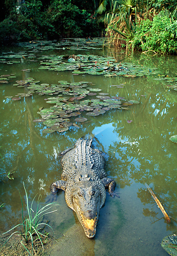 REP 11 MH0014 01 © Kimball Stock Saltwater Crocodile Emerging From Water
