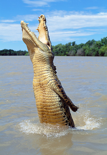 REP 11 MH0015 01 © Kimball Stock Saltwater Crocodile Jumping Out Of Water