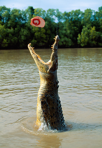 REP 11 MH0016 01 © Kimball Stock Saltwater Crocodile Jumping Out Of Water For Food