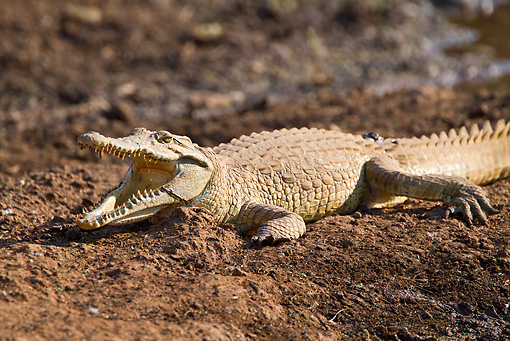 REP 11 RW0003 01 © Kimball Stock Young Nile Crocodile Sunning On Dirt Masai Mara National Reserve, Kenya