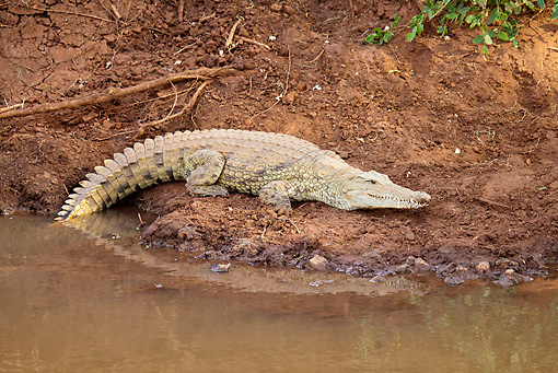 REP 11 RW0004 01 © Kimball Stock Young Nile Crocodile Laying By Water Masai Mara National Reserve, Kenya