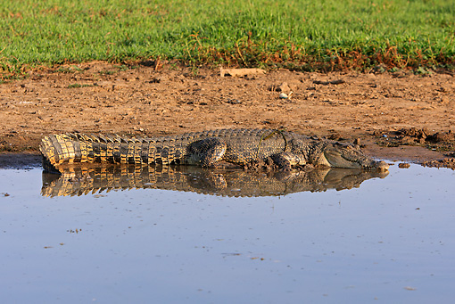 REP 11 WF0002 01 © Kimball Stock Saltwater Crocodile Resting At Edge Of Water