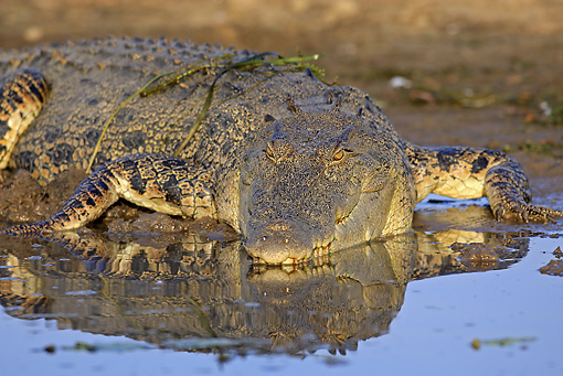 REP 11 WF0003 01 © Kimball Stock Portrait Of Saltwater Crocodile Resting At Edge Of Water