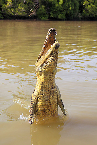 REP 11 WF0007 01 © Kimball Stock Saltwater Crocodile Jumping Out Of Muddy Water