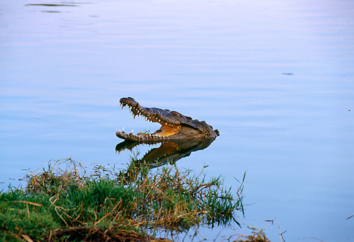 REP 11 TL0002 01 © Kimball Stock Head Shot Of American Crocodile Near Shore Holding Mouth Open