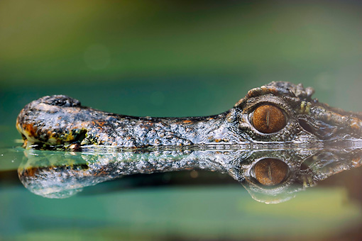 REP 12 AC0001 01 © Kimball Stock Head Shot Of Smooth-Fronted Caiman Swimming Through Water