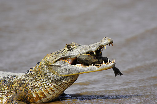 REP 12 GL0002 01 © Kimball Stock Spectacled Caiman Catching Fish In Los Lianos, Venezuela