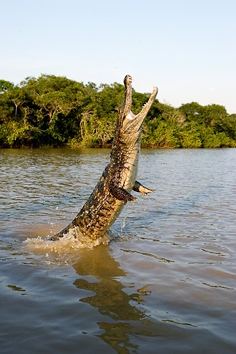 REP 12 GL0006 01 © Kimball Stock Spectacled Caiman Bursting Out Of River In Los Lianos, Venezuela