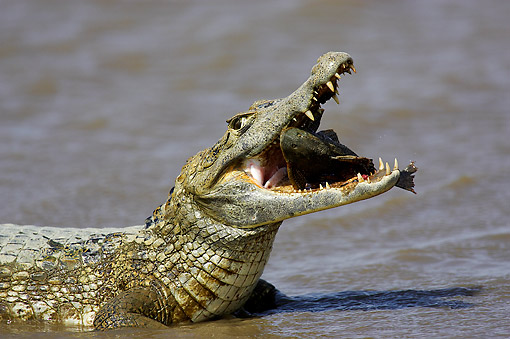 REP 12 GL0009 01 © Kimball Stock Caiman Holding Fish In Mouth In Water In Los Llanos In Venezuela