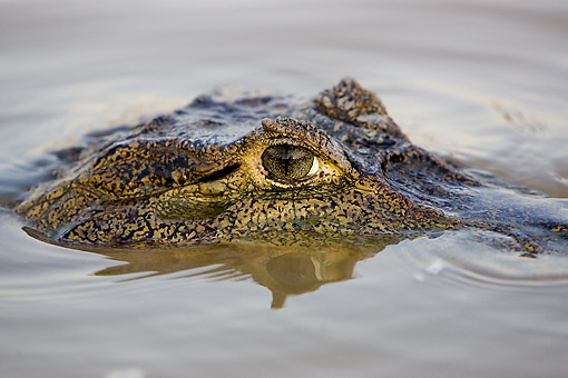 REP 12 GL0011 01 © Kimball Stock Spectacled Caiman Emerging From River In Los Lianos Venezuela