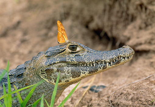 REP 12 WF0006 01 © Kimball Stock Spectacled Caiman And Butterfly In Jungle Pantanal, Brazil