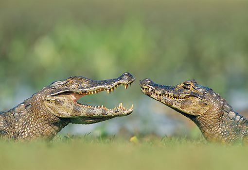 REP 12 WF0007 01 © Kimball Stock Two Spectacled Caimans Face To Face In Jungle Pantanal, Brazil