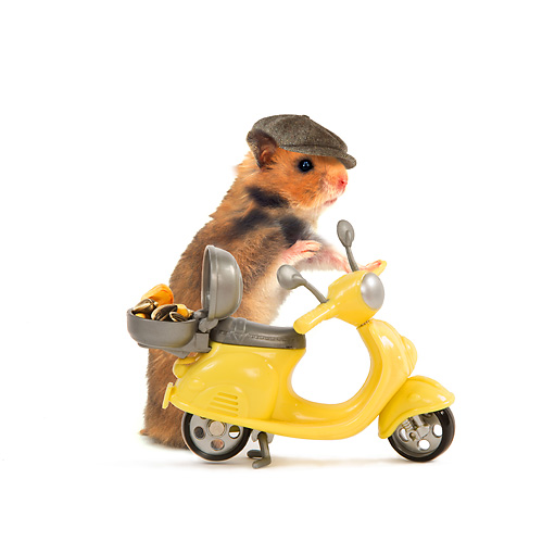 ROD 01 JE0001 01 © Kimball Stock Golden (aka Syrian) Hamster Wearing Hat With Yellow Scooter On White Seamless