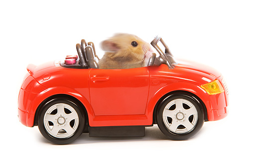 ROD 01 JE0002 01 © Kimball Stock Golden (aka Syrian) Hamster Sitting In Red Toy Car On White Seamless