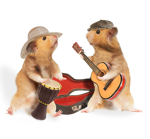 ROD 01 JE0003 01 © Kimball Stock Two Golden Hamsters Playing Instruments On White Seamless