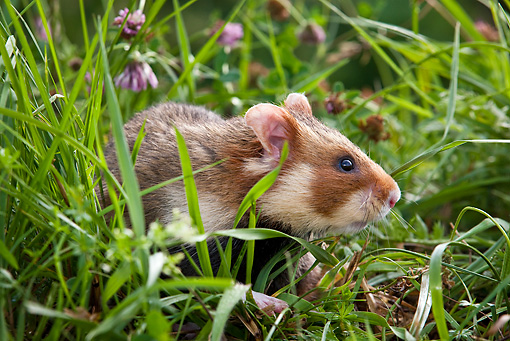 ROD 01 KH0026 01 © Kimball Stock Close-Up Of European Hamster In Meadow Alsace, France