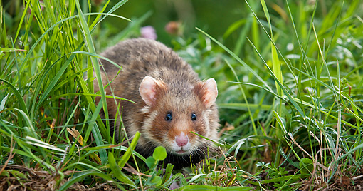 ROD 01 KH0027 01 © Kimball Stock Close-Up Of European Hamster In Meadow Alsace, France
