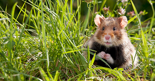 ROD 01 KH0028 01 © Kimball Stock European Hamster Sitting In Meadow Alsace, France