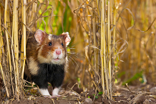 ROD 01 KH0029 01 © Kimball Stock European Hamster In Wheat Field Alsace, France