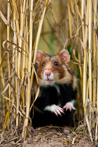ROD 01 KH0030 01 © Kimball Stock European Hamster Sitting In Wheat Field Alsace, France