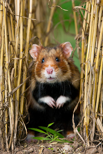 ROD 01 KH0031 01 © Kimball Stock European Hamster Sitting In Wheat Field Alsace, France