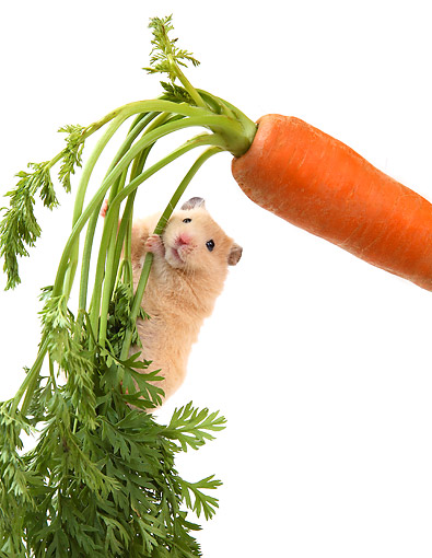 ROD 01 XA0001 01 © Kimball Stock Hamster Hanging From Carrot Stalk