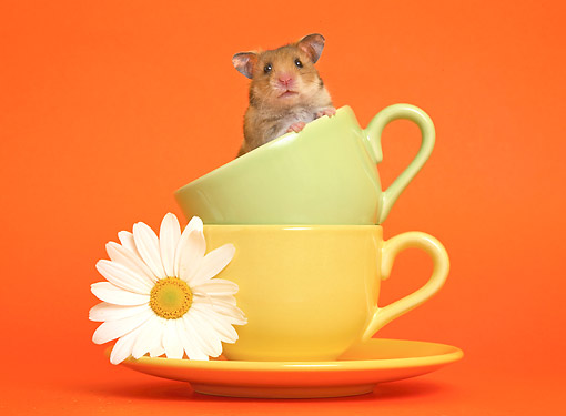 ROD 01 XA0002 01 © Kimball Stock Hamster Sitting In Tea Cups With Flower