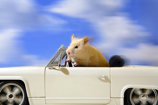 ROD 01 XA0005 01 © Kimball Stock Hamster Driving Convertible Car