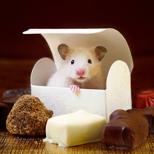 ROD 01 XA0007 01 © Kimball Stock Hamster Popping Out Of Box With Chocolates And Cheese