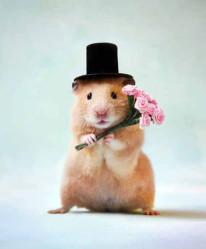 ROD 01 XA0008 01 © Kimball Stock Hamster Standing In Studio With Flowers And Top Hat