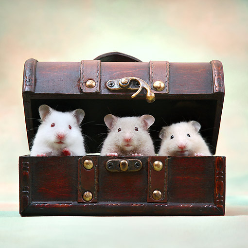 ROD 01 XA0010 01 © Kimball Stock Hamsters Sitting In Chest