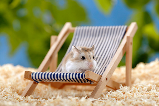 ROD 01 KH0001 01 © Kimball Stock Roborovski Hamster Sitting In Beach Chair