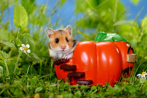 ROD 01 KH0003 01 © Kimball Stock Golden (aka Syrian) Hamster Sitting In Ceramic Pumpkin