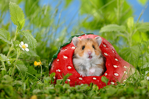 ROD 01 KH0004 01 © Kimball Stock Golden (aka Syrian) Hamster Sitting In Ceramic Strawberry