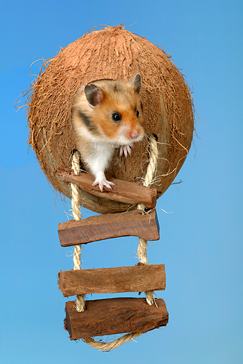 ROD 01 KH0005 01 © Kimball Stock Golden (aka Syrian) Hamster Sitting In Coconut Toy