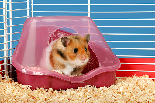 ROD 01 KH0006 01 © Kimball Stock Golden (aka Syrian) Hamster Sitting In Plastic Shelter In Cage