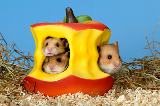 ROD 01 KH0008 01 © Kimball Stock Golden (aka Syrian) Hamsters Sitting Inside Ceramic Apple