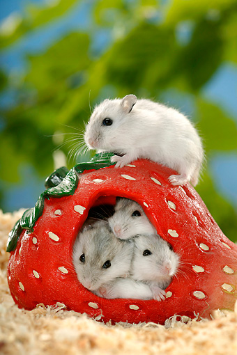 ROD 01 KH0009 01 © Kimball Stock Winter White Russian Hamsters Sitting Inside Ceramic Strawberry