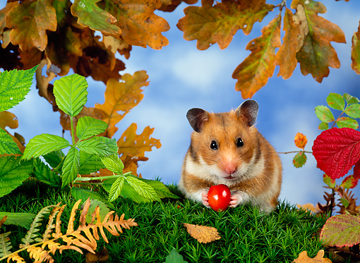 ROD 01 KH0013 01 © Kimball Stock Golden (aka Syrian) Hamster Sitting On Grass Holding Red Berry