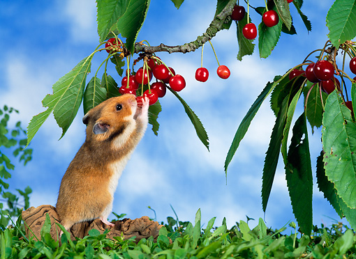 ROD 01 KH0014 01 © Kimball Stock Golden (aka Syrian) Hamster Eating Red Berry Off Shrub