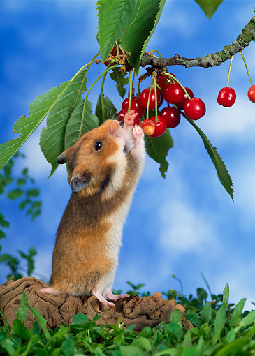 ROD 01 KH0015 01 © Kimball Stock Golden (aka Syrian) Hamster Eating Red Berry Off Shrub