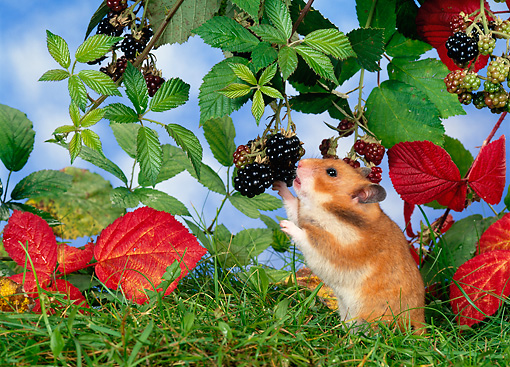 ROD 01 KH0016 01 © Kimball Stock Golden (aka Syrian) Hamster Eating Blackberry Off Shrub